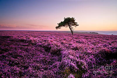 Heather At Sunset Egton Moor Art Print by Janet Burdon