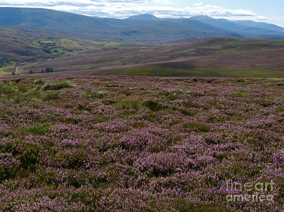 Photograph - Heather - Cairngorms - Scotland by Phil Banks