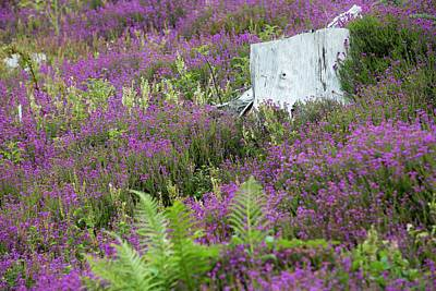 Conifer Tree Photograph - Heather Growing by Ashley Cooper