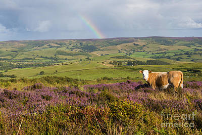 Cow Parsley Wall Art - Photograph - Heather In The Hills by John Hayward