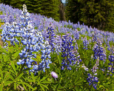 Heavenly Blue Lupins Art Print by Theresa Tahara