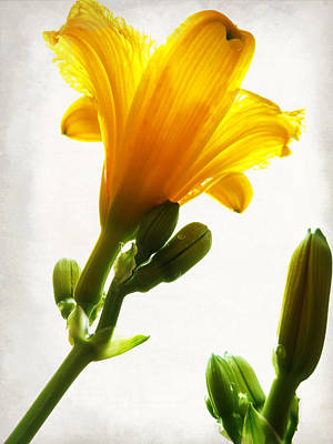 Photograph - Heavenly Daylily by Shawna Rowe