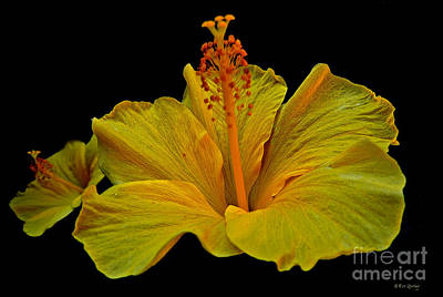 Photograph - Heavenly Hibiscus by Eve Spring