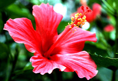 Photograph - Heavenly Hibiscus by Robert  Rodvik