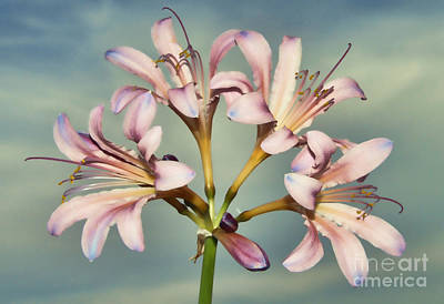 Photograph - Heavenly Lilies by Elizabeth Winter