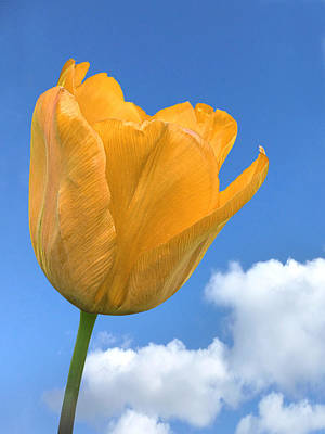 Photograph - Heavenly Tulip by Gill Billington