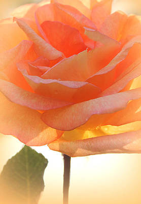 Most Sold Photograph - Heaven's Peach Rose by The Art Of Marilyn Ridoutt-Greene