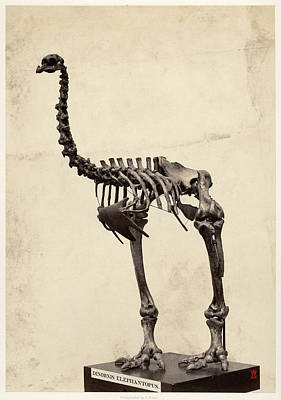 Moa Photograph - Heavy-footed Moa by Natural History Museum, London