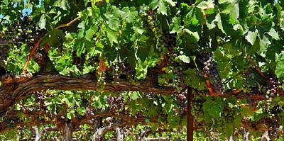 Photograph - Heavy Grape Clusters On The Vine by Kirsten Giving