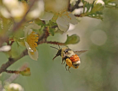 Bee Photograph - Heavy Load by Gary Wing