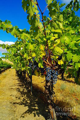 Heavy On The Vine At The High Tower Winery  Art Print by Jeff Swan