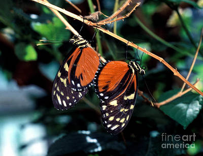 Photograph - Hecales Longwing Butterfly Mating by Terry Elniski