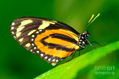 Gentle Photograph - Hecales Longwing by Floyd Menezes