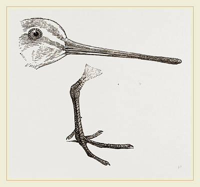 Hed And Leg Of Snipe Art Print