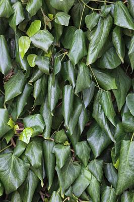 Large Leaves Photograph - Hedera Colchica 'amurensis' by Geoff Kidd