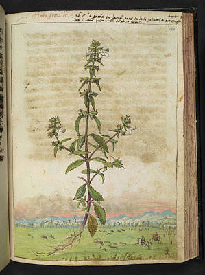 Of Artist Photograph - Hedge-hyssop (gratiola Officinalis) by British Library