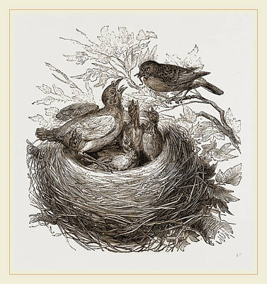 Cuckoo Drawing - Hedge-sparrows And Cuckoo by Litz Collection