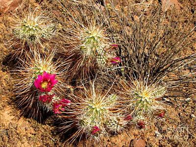 Hedgehog Cacti Art Print by Marilyn Smith