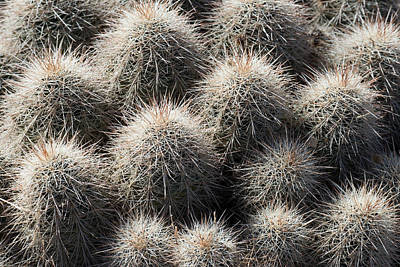 Photograph - Hedgehog Cactus by Avian Resources