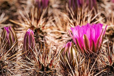 Photograph - Hedgehog Cactus Flower And Buds by  Onyonet  Photo Studios