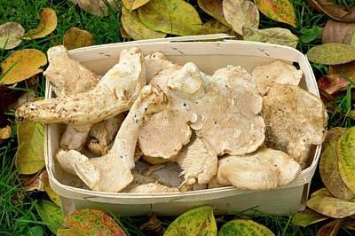 Mushroom Photograph - Hedgehog Mushrooms (hydnum Repandum) by Bob Gibbons
