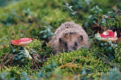 Photograph - Hedgehog, Russia by Art Wolfe