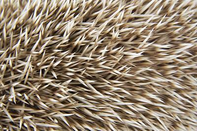 Hedgehog Spines Art Print by John Daniels