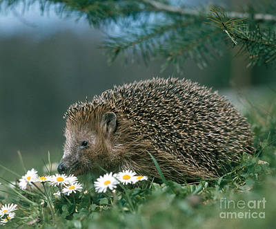 Hedgehog With Flowers Art Print by Hans Reinhard