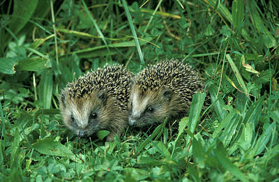 Hedgehog Wall Art - Photograph - Hedgehogs by Animal Images