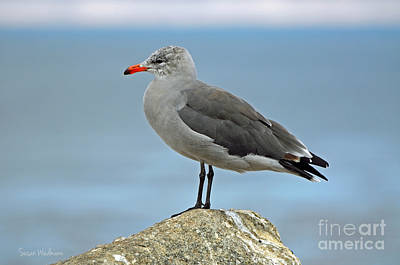 Heermann's Gull In Profile Art Print