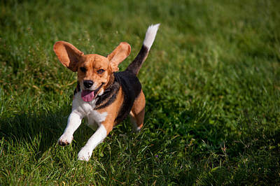 Photograph - Heey-yaah. Happy Puppy Beagle by Jenny Rainbow