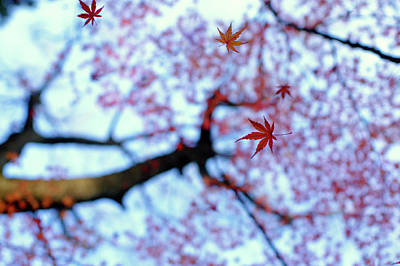 Falling Leaf Photograph - Heirinji by Kouji Tomihisa