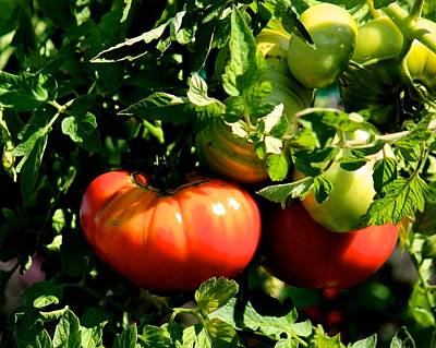 Photograph - Heirloom Tomatoes 2 by Michael Saunders