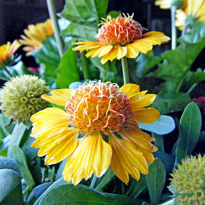 Photograph - Helenium Flowers 1 by Duane McCullough