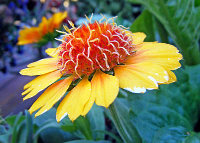 Photograph - Helenium Flowers 2 by Duane McCullough