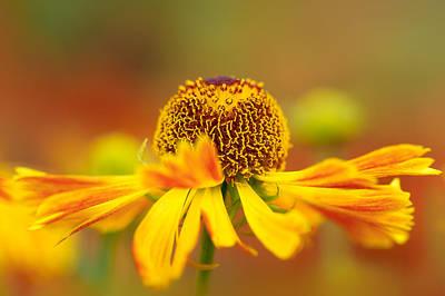 Photograph - Helenium Sunshine by Sarah-fiona  Helme