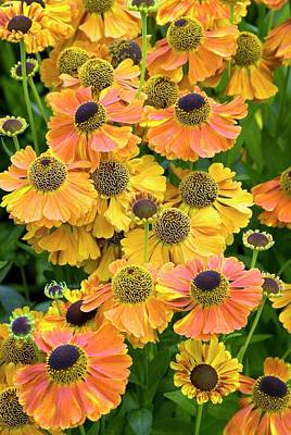 Sneezeweed Photograph - Helenium 'waltraut' by Adrian Thomas