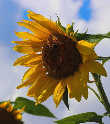 Sunflowers Photograph - Helianthus 3 by Cathy Lindsey