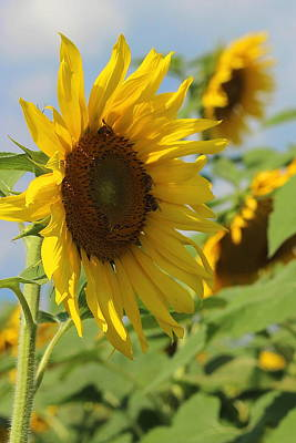 Helianthus 5 Print by Cathy Lindsey