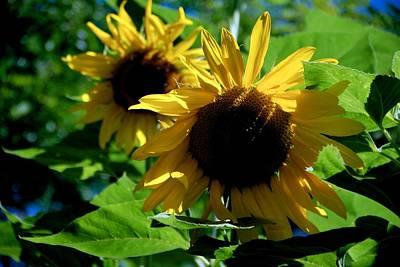 Photograph - Helianthus Sisters by Eric Tressler