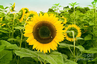 Photograph - Helianthus - Sunflower Kula Maui Hawaii by Sharon Mau