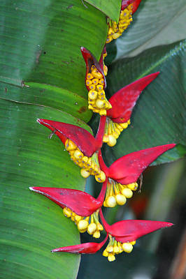 Photograph - Heliconia  by Alan Lenk