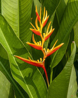 Photograph - Heliconia Dthb1639 by Gerry Gantt