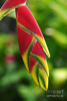 Photograph - heliconia from Costa Rica 6 by Rudi Prott