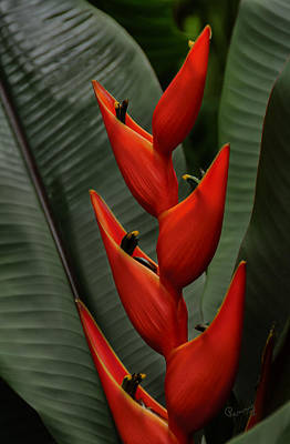 Photograph - Heliconia by Penny Lisowski