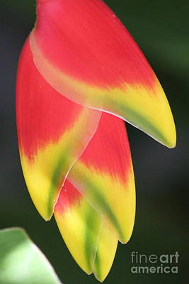Wall Art - Photograph - Heliconia by Sara Ricer