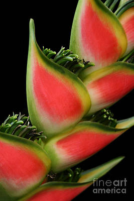 Lobster Claw Photograph - Heliconia Wagneriana - Giant Lobster Claw Heliconiaceae - Maui Hawaii by Sharon Mau