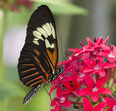 Photograph - Heliconius Melpomene by Sean Allen