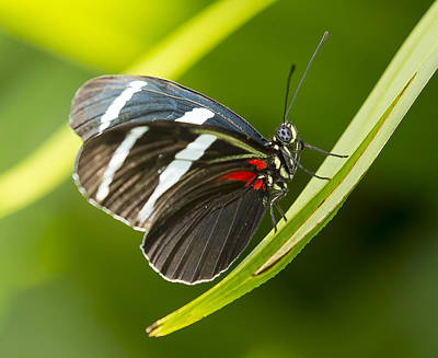 Photograph - Heliconius Sara Butterfly by Sean Allen