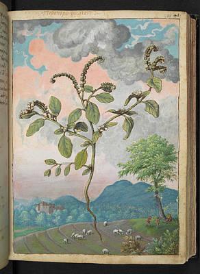 Gathering Photograph - Heliotropium Europaeum by British Library